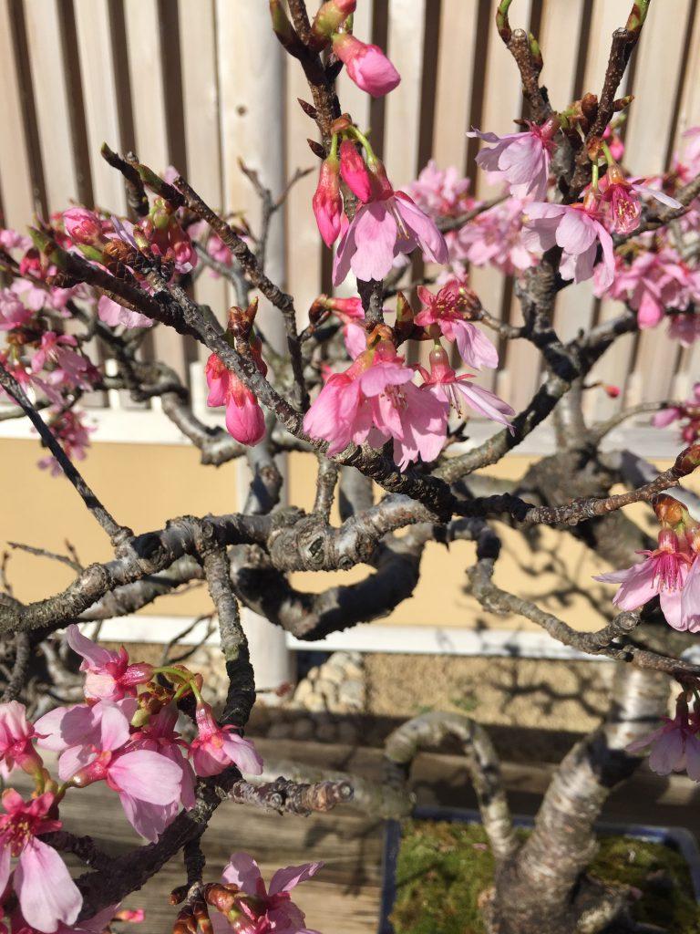 桜(雅)_盆栽美術館